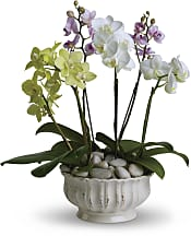 Regal Orchids Plants